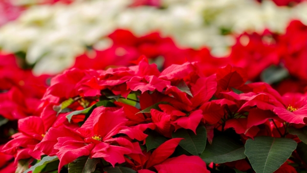 ​Christmas Flowers to Decorate the Church